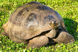 Giant Tortoise (Chelonoidis nigra)