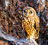 Short-eared Owl (Asio flammeus galapagoensis)