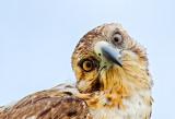 Galápagos Hawk (Buteo galapagoensis)