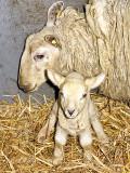 Patrick - the Newborn Lamb