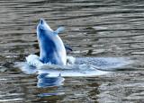 Dolphin Breaching