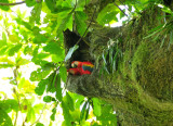 Scarlet macaws in nest hole