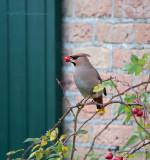 Bohemian Waxwing - Pestvogel -Ameland