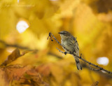 Setophaga coronata - Myrtle warbler - Mirtezanger PS DSC_1337.jpg