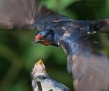 Hirundo rustica - Barn Swallow - Boerenzwaluw PSLR DSC-6063.jpg