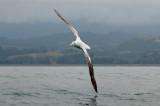 Diomedea exulans - Wandering Albatross - Grote albatros PSLR-6493.jpg