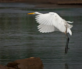 Ardea egretta - Great Egret - Grote zilverreiger  PSLR-7175.jpg