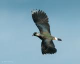 Vanellus vanellus - Northern Lapwing - Kiviet PSLR-3906.jpg