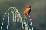 Red Bishop - Euplectes orix PSLR -9444.jpg