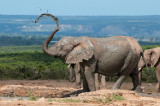 African Elephant taking a shower