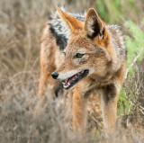 Black-backed Jackal - Canis mesomelas LR-2150
