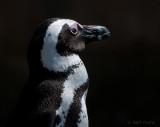 African Penguin  - Spheniscus demersus PSLR-1437.jpg