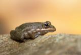 juv Racous Toad - Amietophrynus rangeri PSLR-1840.jpg