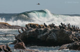 Cape  Cormorants PSLR-1561.jpg