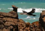 White-breasted Cormorant juv - Phalacrocorax lucides PSLR-1733.jpg