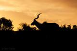 Kudu - Tragelaphus buselaphus PSLR-2005.jpg