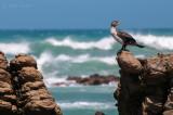 White-breasted Cormorant juv - Phalacrocorax lucides PSLR-1725.jpg