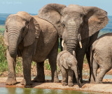 More African Elephants