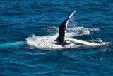 Humpback Whale fin slap