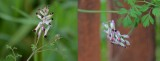 Corydalis Popovii