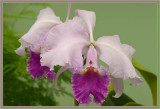 Pink & Fuschia Orchid