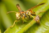 Watchful Wasp