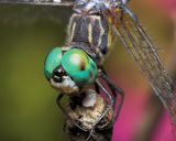 Blue Dasher Posing