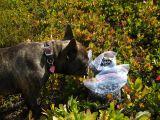 taz likes blueberries.jpg