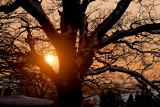 sun setting behind snowy oak