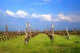 Vineyard 2013