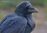 Raaf - Raven - Corvus corax