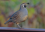 Californische Kuifkwartel - California Quail - Callipepla californica