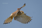 Torenvalk - Common Kestrel - Falco tinuncullus