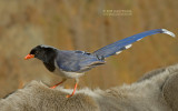 Red-billed Blue Magpie - Urocissa erythrorhyncha