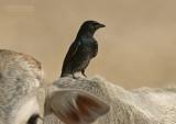 Zwarte Drongo - Black Drongo - Dicrurus macrocercus