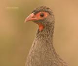 Roodkeelfrankolijn - Red-necked Francolin - Francolinus afer cranchii