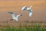 _great_egrets