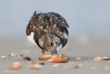 Turnstone / Steenloper
