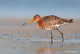 Black-tailed Godwit / Grutto