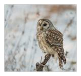 chouettes_hiboux__owl