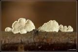 Plooivlieswaaiertje - Plicaturopsis crispa
