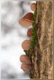 Echt Judasoor - Hirneola auricula-judae