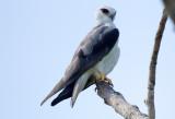 Black Shouldered Kite