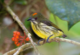 Yellow Breasted Flowerpecker