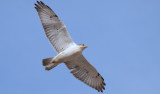 Ferruginous Hawk; Craighead Co Arkansas