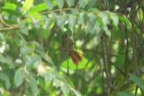 Delta Amacuro Softtail