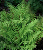 Red Stemmed Lady Fern