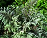 Ursula's Red Japanese Painted Fern