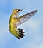 Hummingbirds 2011