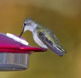Black-chinned Hummingbird - Rare Arkansas Winter Visitor